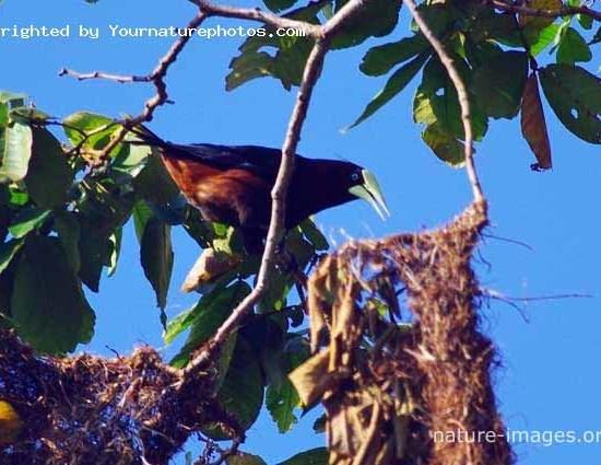 Chestnut-headed oropendola