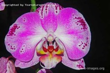 Pink Phalaenopsis - Moth Orchid