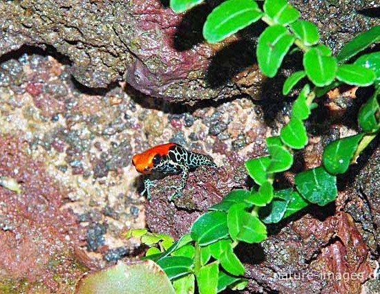 Red-backed Poison Frog