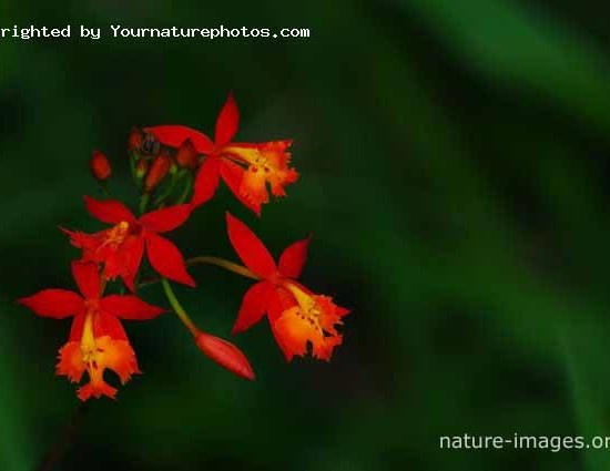 Small red orchids Panama