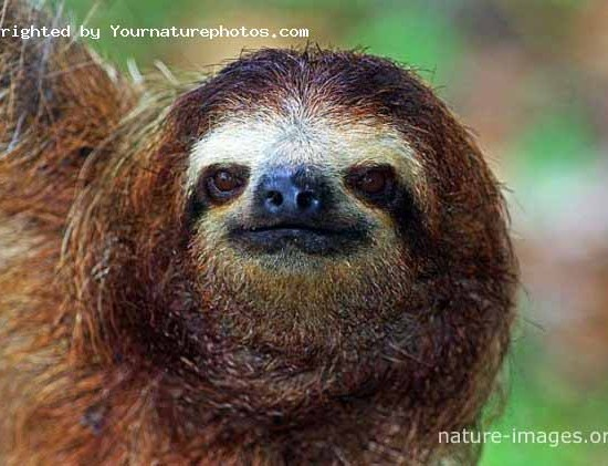 three-toed sloth portrait photo