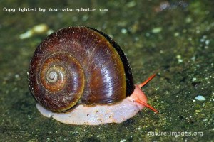 Jungle Snail Panama
