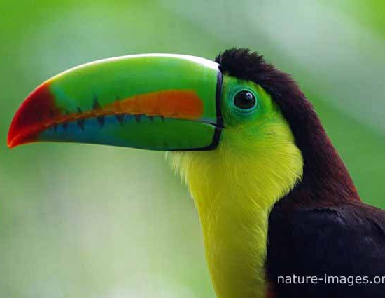 rainbow-billed toucan