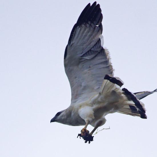 White Hawk BIF