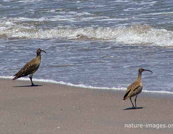 Whimbrel Pair Panama
