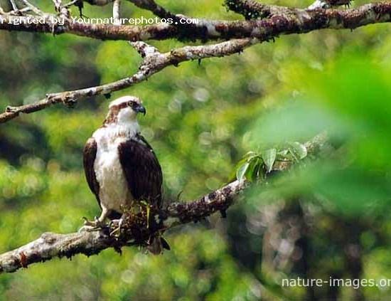 Osprey on a tree