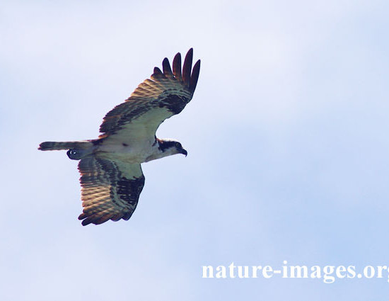 Osprey BIF - Bird in flight