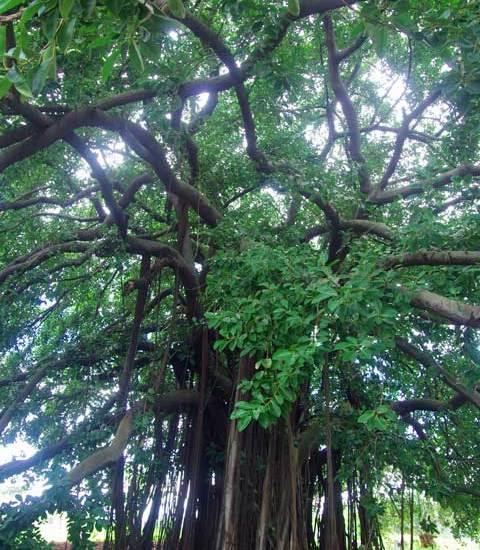 Ficus aurea tree Panama