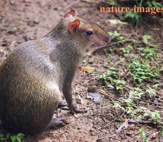 Agouti called ñeque here in Panama