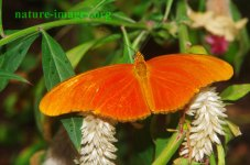 Orange Julia Butterfly Panama