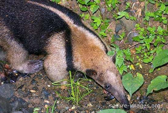 Tamandua is a genus of anteaters