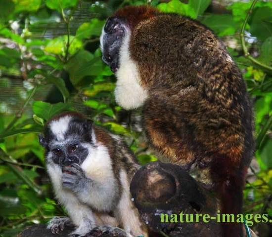 Pair of Geoffroy's tamarin Panama