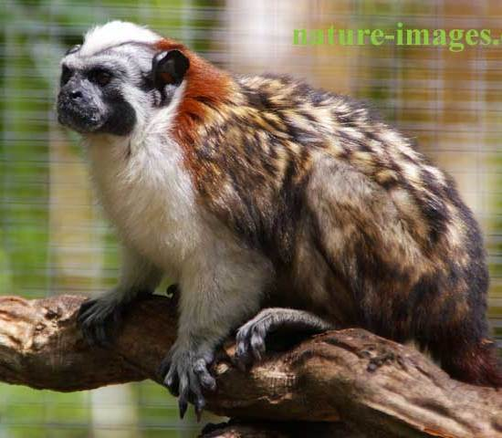 Panamanian, red-crested or rufous-naped tamarin