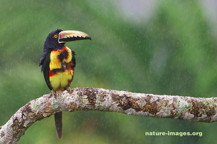 Collared aracari in the rain