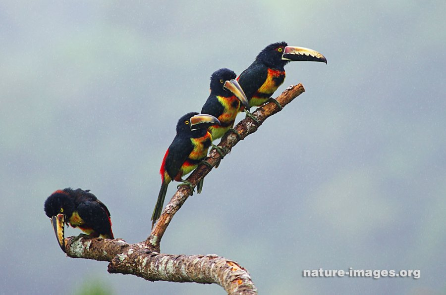 family of collared aracaris