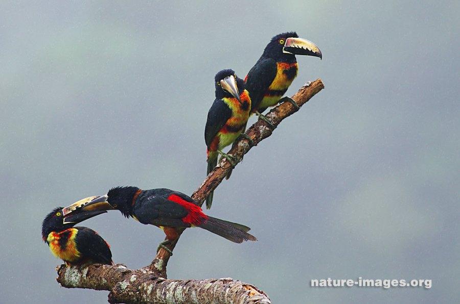 family of collared aracaris