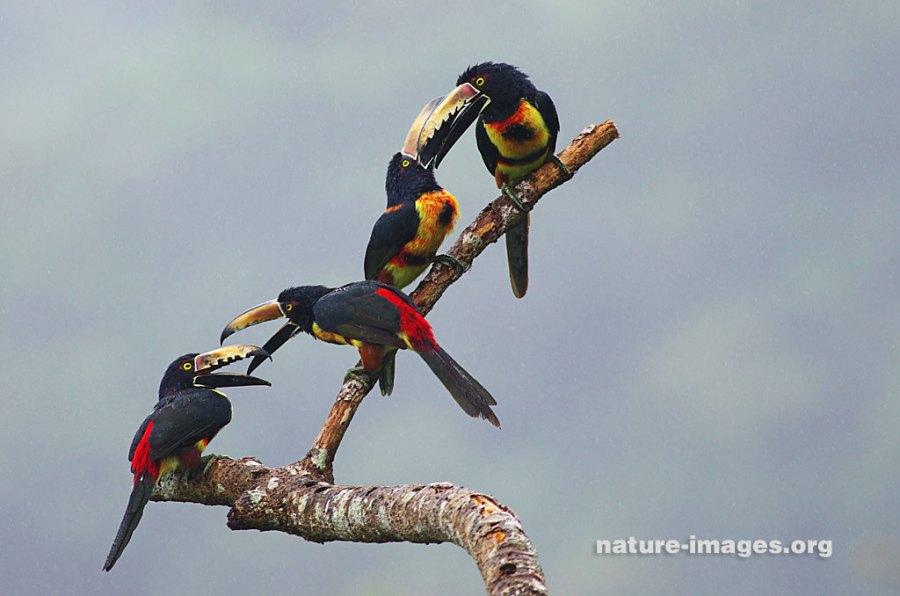 family of collared aracaris feeding time