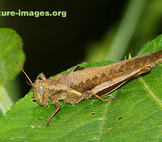 Brown Grasshopper photo taken in Panama