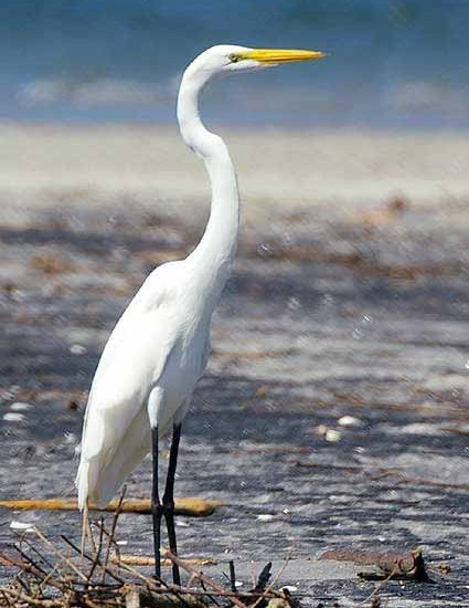 Great White Egret on a beach