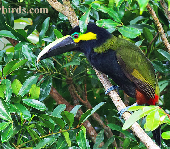 Yellow Eared Toucanet