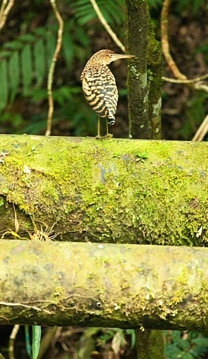 Tiger Heron sitting on the old Pipeline