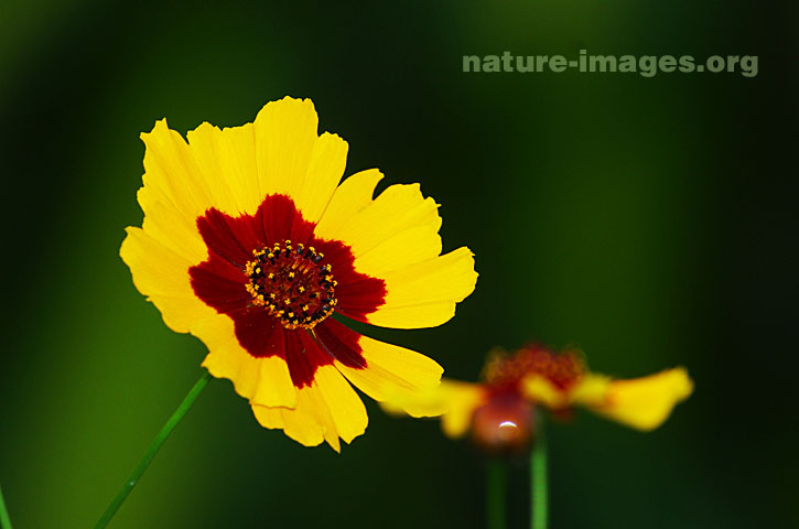 Yellow marigold flower with red center nature images image of a yellow marigold flower with red center mightylinksfo