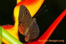 Eurybia Butterfly on a Heliconia plant