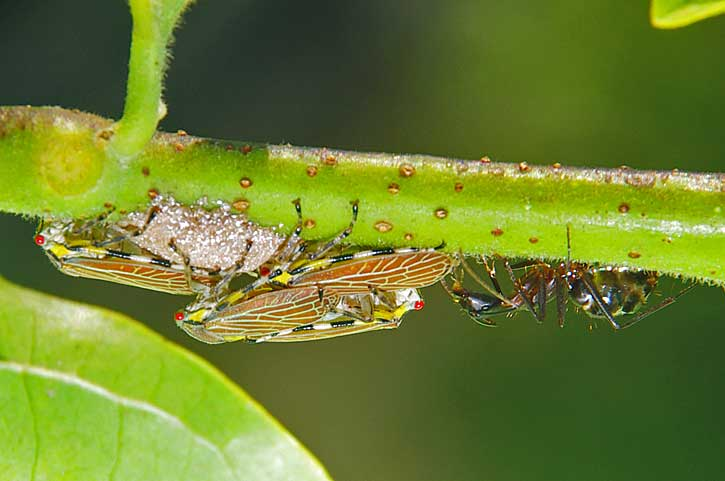 insects with ant