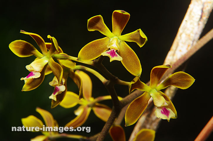Encyclia tampensis or Tampa Butterfly Orchid Image