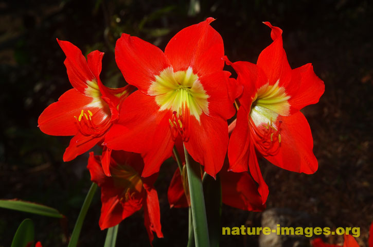 Trio of red lilies