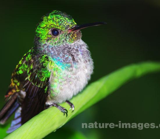 Blue chested hummingbird