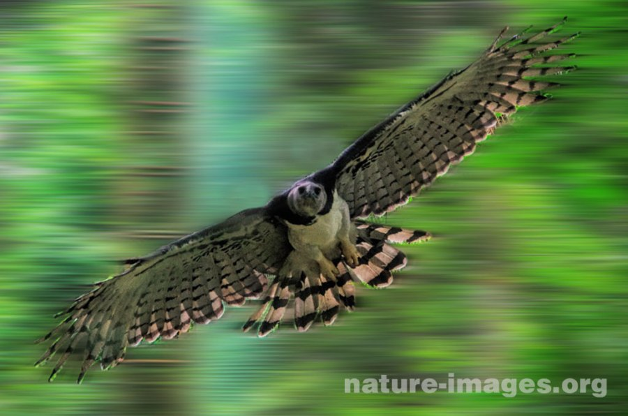 Harpy Eagle Panama In Flight