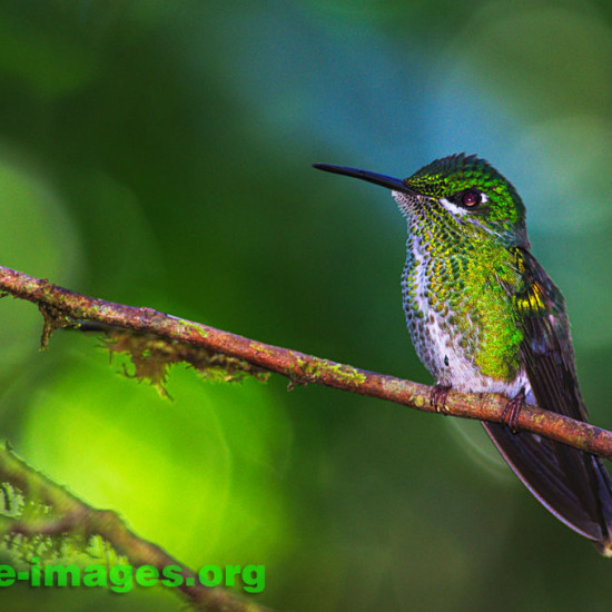 Hummingbird image taken in the rainforest of Panama