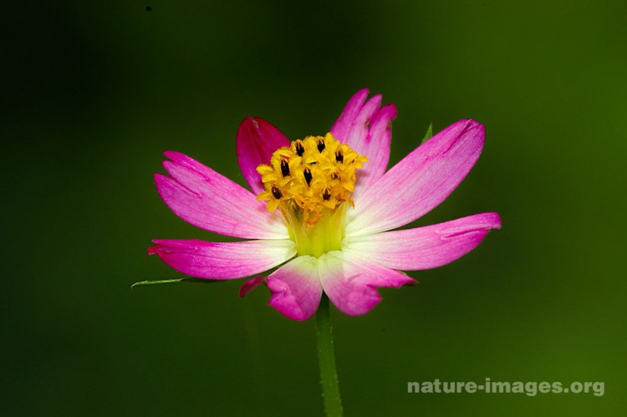 Pink Marygold Flower