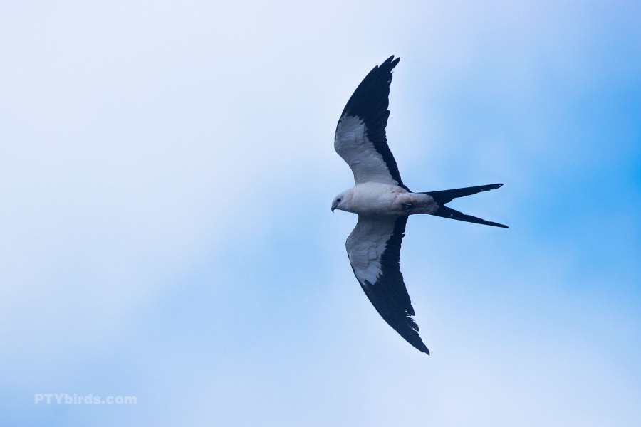 Swallow Tailed Kite