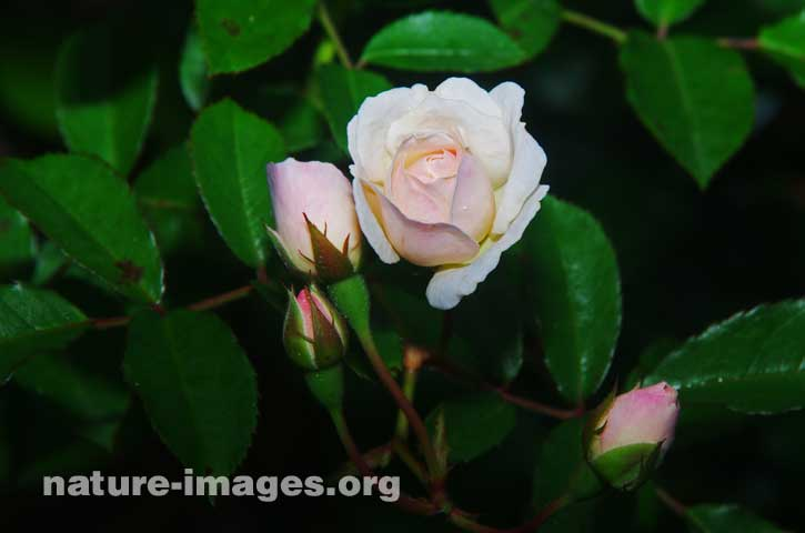 White Rose with pink shadow