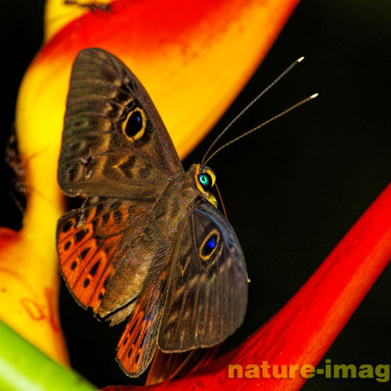 Eurybia butterfly
