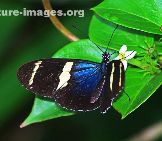 Eleuchia Longwing Butterfly