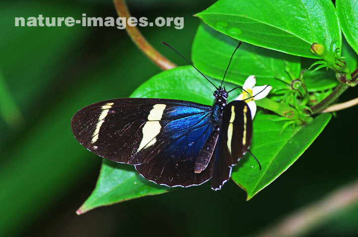 Eleuchia Longwing Butterfly