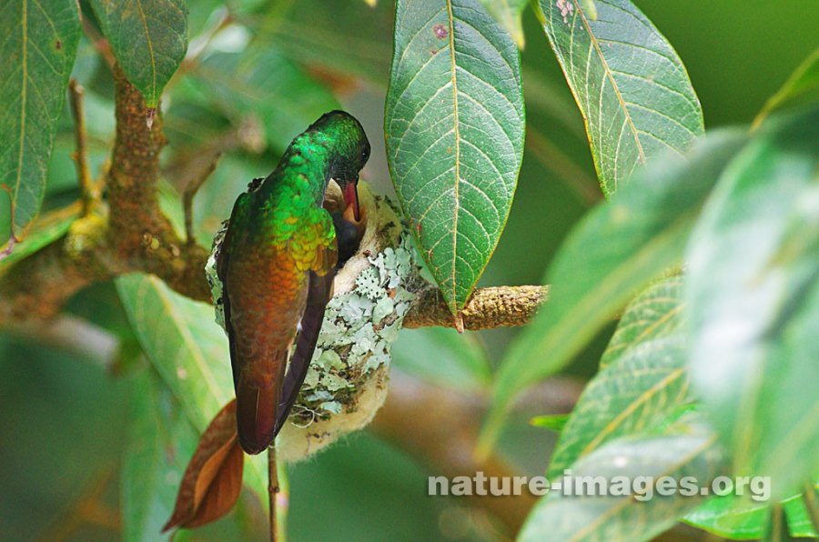 Rufous-tailed hummingbird chicks fed by mother
