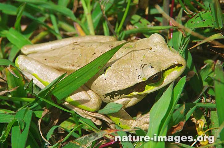 Beige Masked Tree Frog