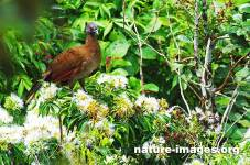 Grey-headed chachalaca on top of a flowering tree looking for the fist berries.