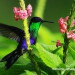 Violet-crowned woodnymph hummingbird