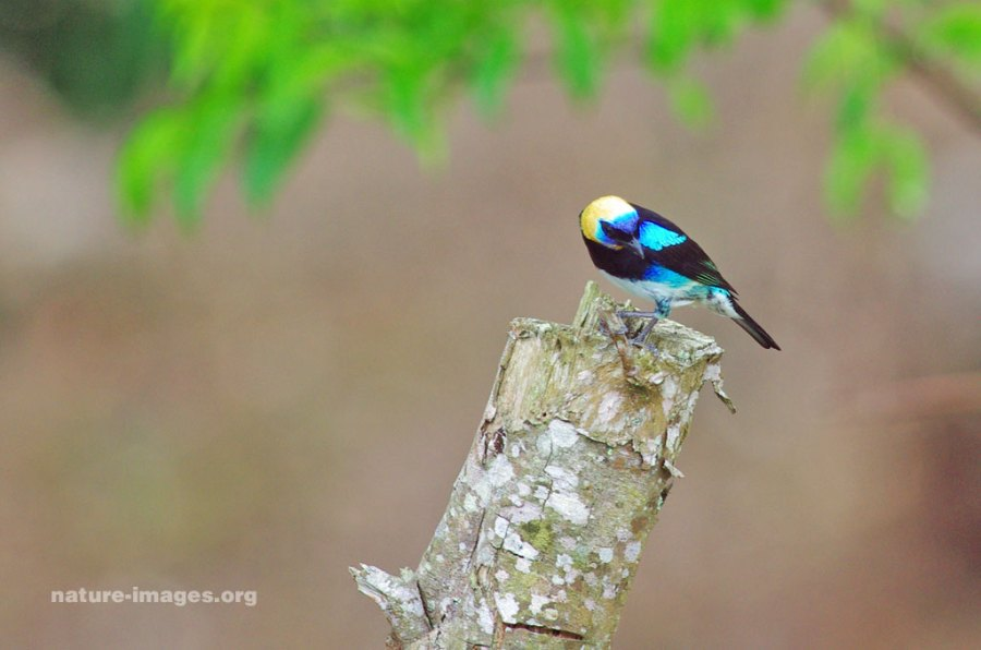 gh-tanager2