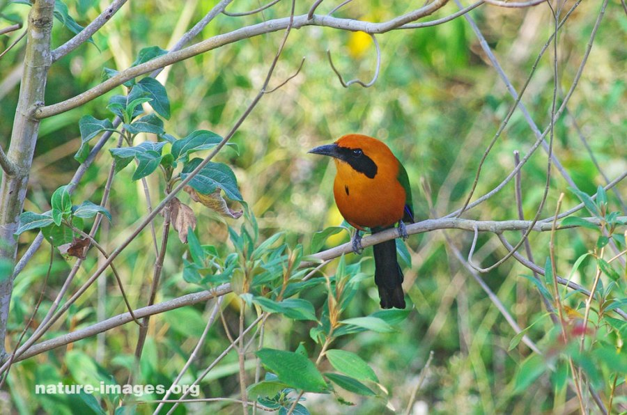 Rufous motmot female (Baryphthengus martii)