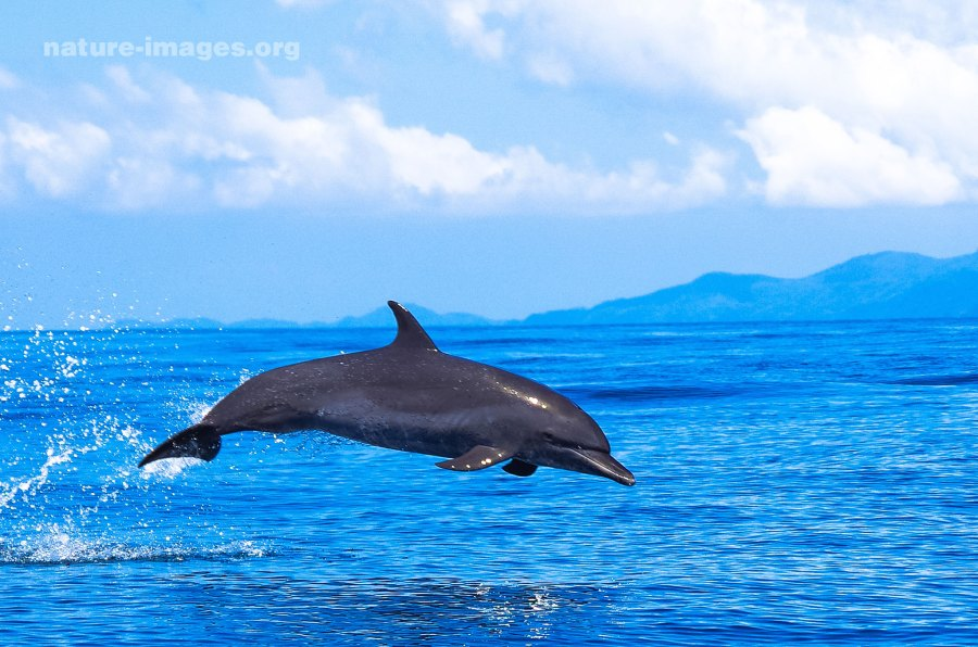 Dolphin Jumping  in the waters of the Pacific Ocean around Coiba Island, Panama.