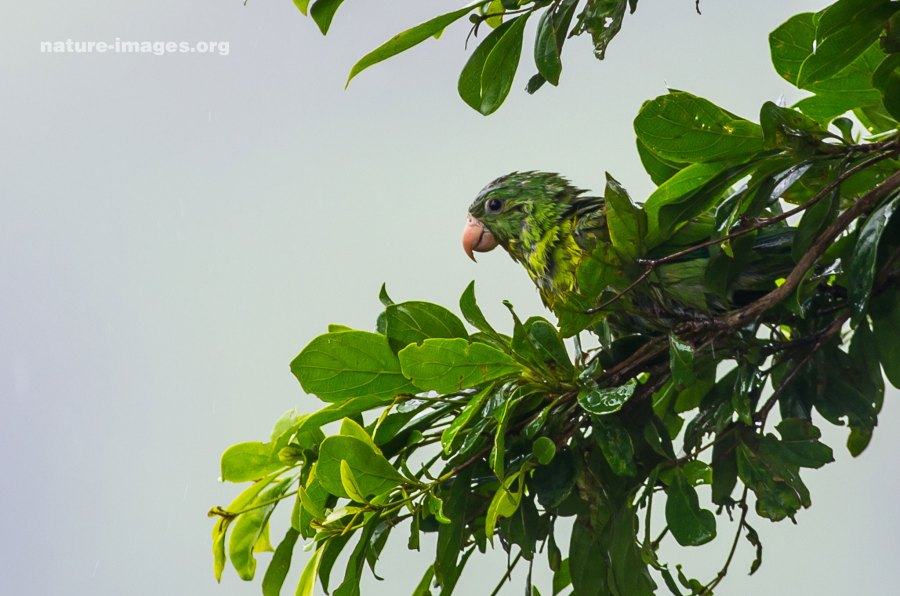 Orange chinned Parakeet in the rain