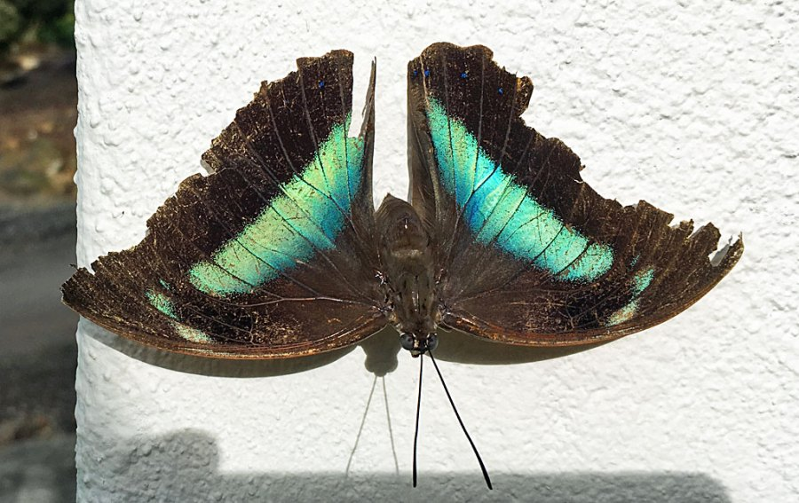 Old Banded king shoemaker butterfly