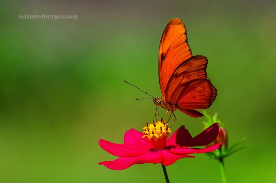 Dryas iulia - Orange Julia Butterfly