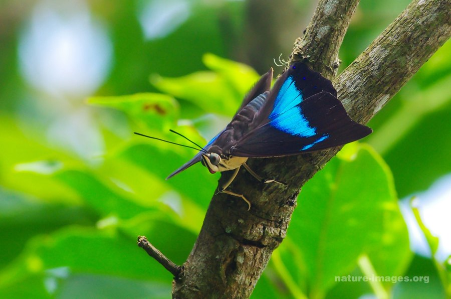 banded king shoemaker butterfly